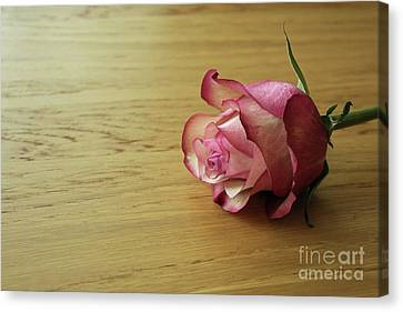 Still Life, Macro Photo Of Pink Rose Flower Canvas Print by Pixelshoot Photography