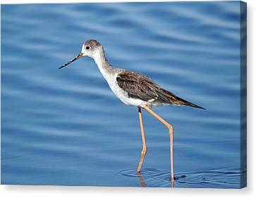 Canvas Print featuring the photograph Stilt by Richard Patmore