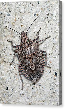 Canvas Print featuring the photograph Stink Bug by Breck Bartholomew