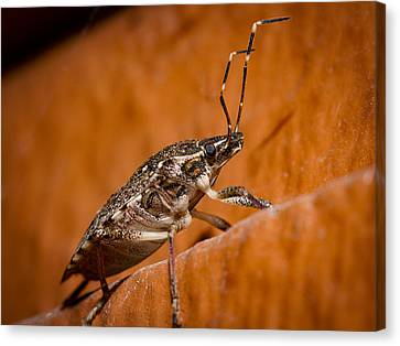 Stink Bug Canvas Print by Jean Noren