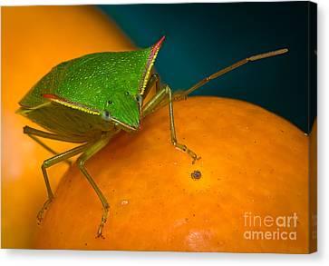 Stink Bug On Kumquats Canvas Print by Warren Sarle