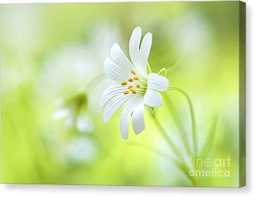 Stitchwort White Flower Canvas Print by Jacky Parker