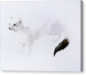 Stoat Watercolor Canvas Print by Attila Meszlenyi