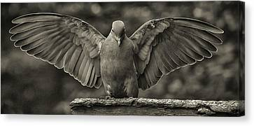 Stone Dove Landing Canvas Print by Jim Moore