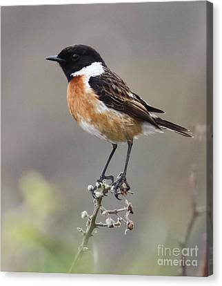 Stonechat Canvas Print by Terri Waters