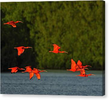 Mangrove Forest Canvas Print - Stop Lights by Tony Beck