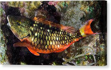 Stoplight Clown Fish Canvas Print by Andrew Kubica
