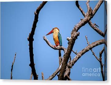 Stork-billed Kingfisher Canvas Print by Venura Herath