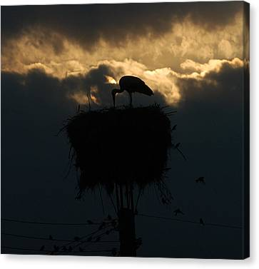 Stork With Evening Sun Light  Canvas Print