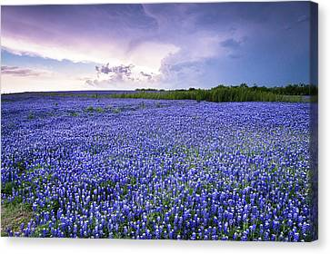 Storm Is Coming In Wildflower Field - Bluebonnet Canvas Print by Ellie Teramoto