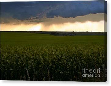 Storm Over The Canola Fields Canvas Print by Mario Brenes Simon