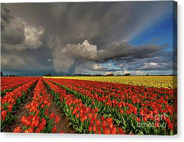 Storm Tulips Canvas Print by Mike Reid