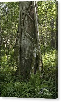 Strangler Fig And Cypress Tree, Florida Canvas Print