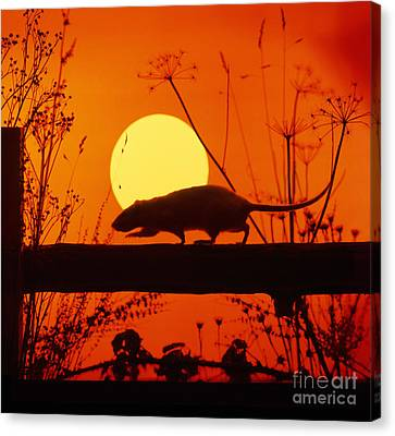 Stranglers Rattus Norvegicus Rat Canvas Print