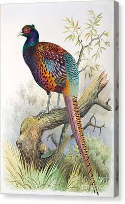 Full-length Portrait Canvas Print - Strauchs Pheasant by Henry Jones