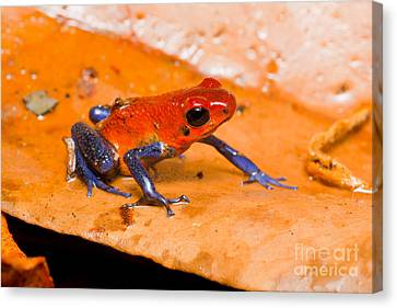 Strawberry Poison Dart Frog Canvas Print by B.G. Thomson
