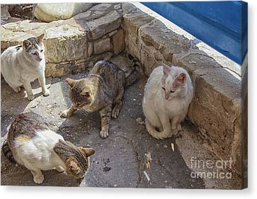 Stray Cats  Canvas Print by Patricia Hofmeester