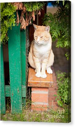 Stray Waif Red Cat Sitting Canvas Print by Arletta Cwalina