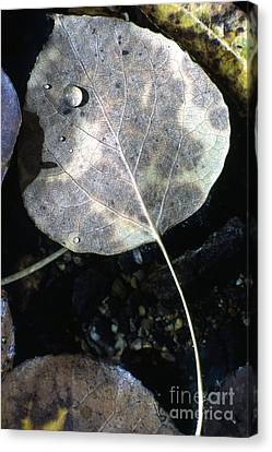 Stream Leaf Canvas Print by Norman  Andrus