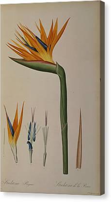 Strelitzia Reginae Canvas Print by Pierre Joseph Redoute