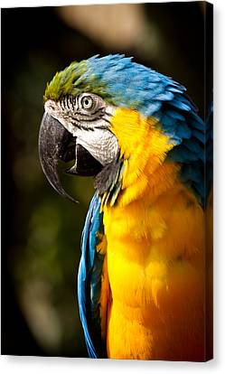Blue And Gold Macaw Canvas Print - Strike A Pose by Carl Jackson