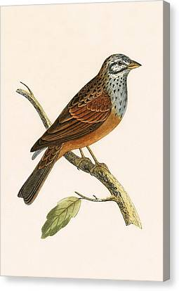 Striolated Bunting Canvas Print