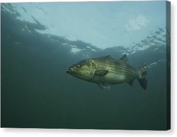 Striped Bass Canvas Print by Bill Curtsinger
