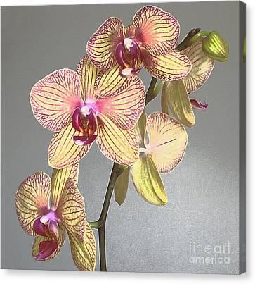 Striped Phalaenopsis Canvas Print by Addie Hocynec