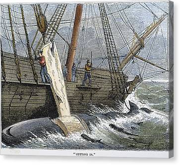 Stripping Whale Blubber Canvas Print by Granger