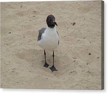 Canvas Print featuring the photograph Struttin' Seagull  by Charles Kraus