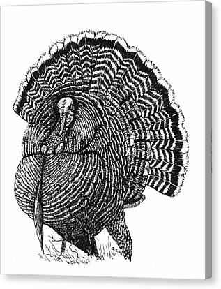 Strutting Gobbler Canvas Print by Suzanne McKee