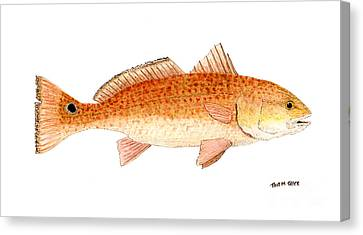Study Of A Redfish  Canvas Print