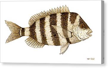 'study Of A Sheepshead' Canvas Print