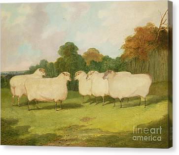 Study Of Sheep In A Landscape   Canvas Print by Richard Whitford