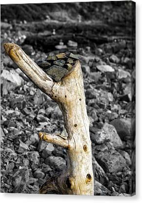 Stump With Rocks - Ogunquit - Maine Canvas Print
