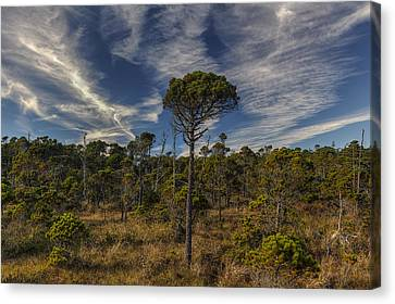 Stunted Ancient Forest Canvas Print by Mark Kiver