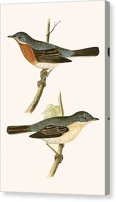 Sub Alpine Warbler Canvas Print by English School