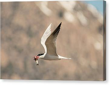 Successful Caspian Tern Canvas Print by Loree Johnson