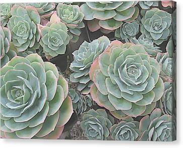 Succulent 2 Canvas Print by David Hansen