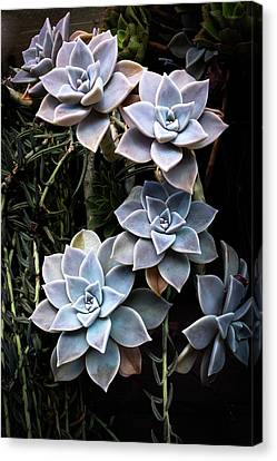 Canvas Print featuring the photograph Succulents Graptopetalum Paraguayense     by Catherine Lau