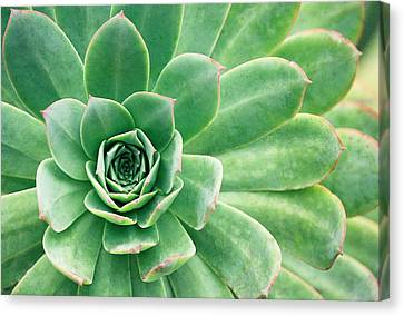 Succulents II Canvas Print