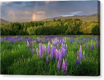 Sugar Hill Lupines Canvas Print by Bill Wakeley