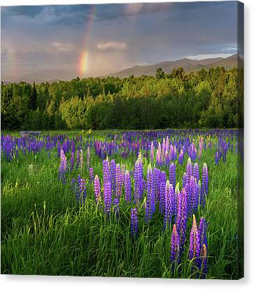 Sugar Hill Lupines Square Canvas Print by Bill Wakeley