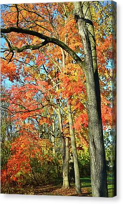 Canvas Print featuring the photograph Sugar Maple Stand by Ray Mathis