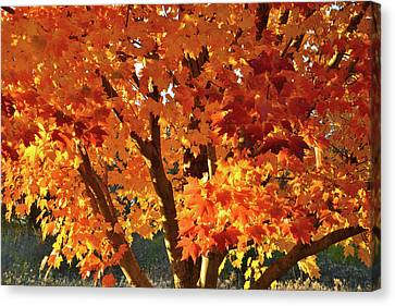 Canvas Print featuring the photograph Sugar Maple Sunset by Ray Mathis