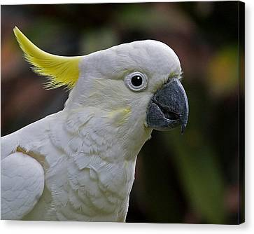 Cockatoo Canvas Print - Sulphur-crested Cockatoo by Larry Linton