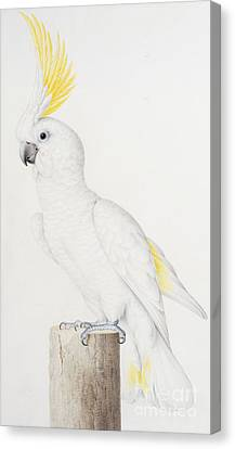 Parakeet Canvas Print - Sulphur Crested Cockatoo by Nicolas Robert