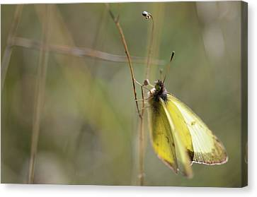 Sulphur Dreams Canvas Print by Janet Rockburn