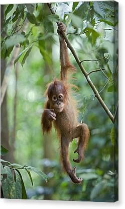 Sumatran Orangutan Pongo Abelii One Canvas Print by Suzi Eszterhas