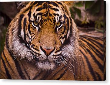 Close-up Canvas Print - Sumatran Tiger by Chad Davis